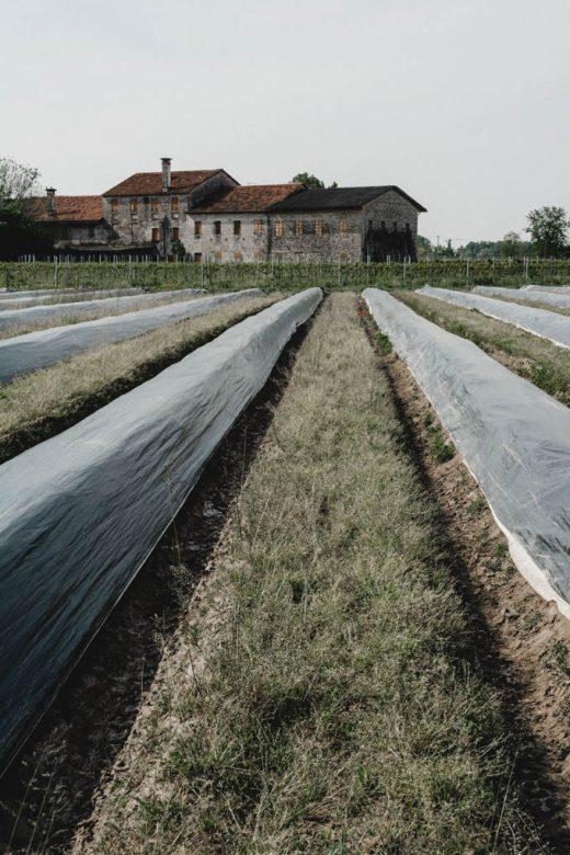 germogli di primavera - asparago bianco di Cimadolmo IGP